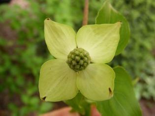 A Dogwood blossom