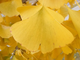 Gingko leaves