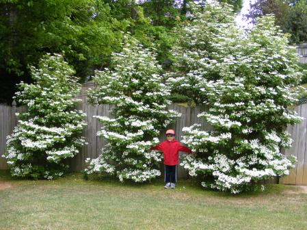 Viburnum shrubs with Jamie