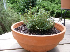 Pot of lemon thyme