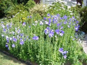 Balloon Flower Patch