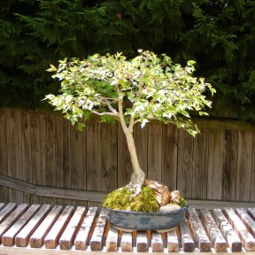 Closeup of Bonsai