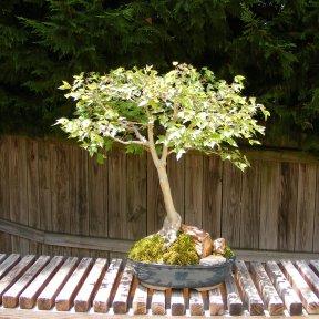 Closeup of Bonsai