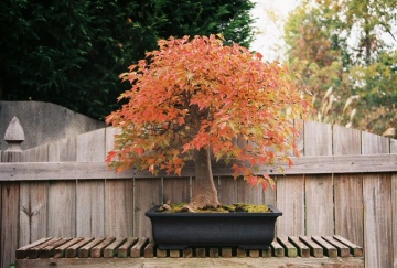 Fall colored bonsai