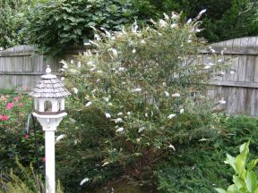 The front of the butterfly bush