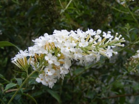 A branch on the butterfly bush