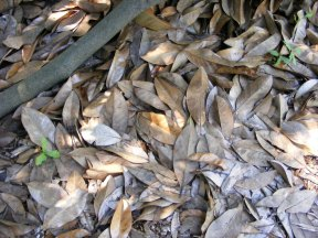 Magnolia leaves on the ground