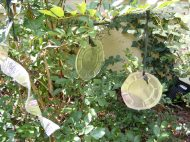 The pie pans in the blueberry bush
