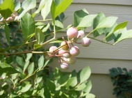 Unripened blueberries